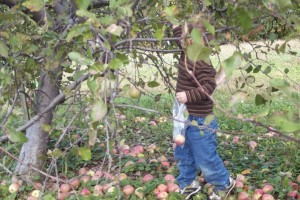 Finn picking his first apples